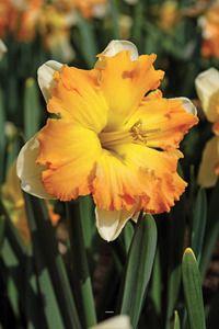 """'Apple Pie"""" Daffodil"""