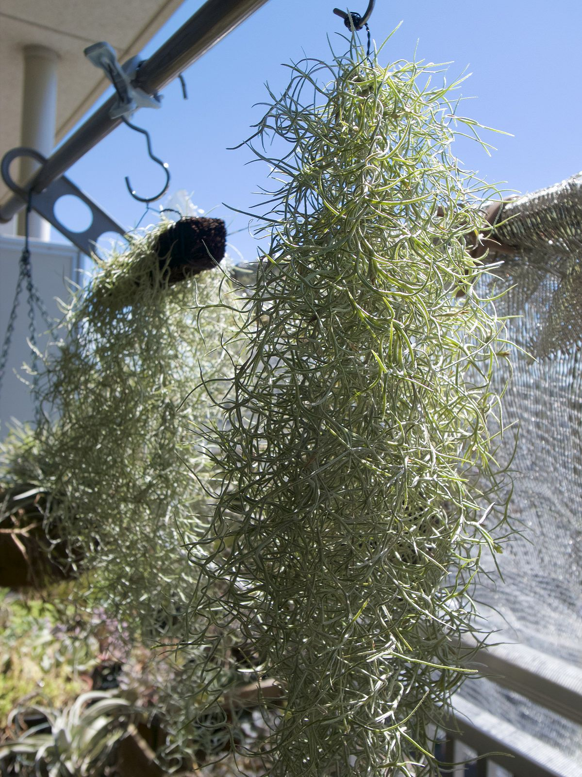 Tillandsia usneoides (Spanish moss), チランジア・ウスネオイデス(スパニッシュ