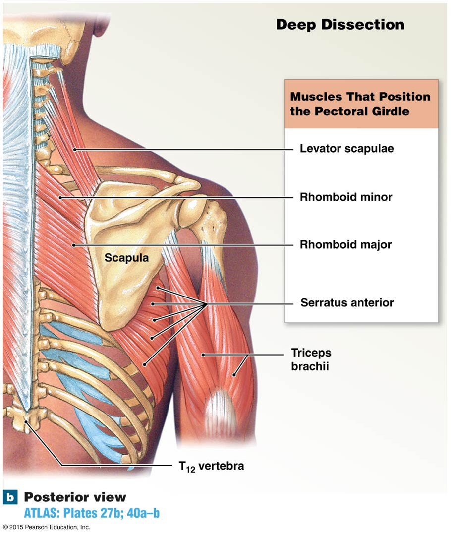 The Muscles That Move The Scapula Career Pinterest Scapula