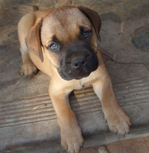 Bullmastiff Puppy Looks Very Similar To Ace Maybe We Will Just