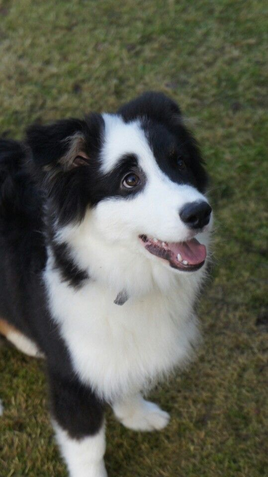 Love The Eye Patch What A Cute Face 3 Collie Puppies Aussie
