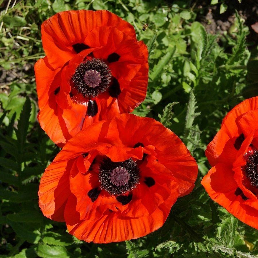 Oriental Poppy Seeds Orange Scarlet In 2020 Poppy Flower Seeds Flower Seeds Wildflower Seeds