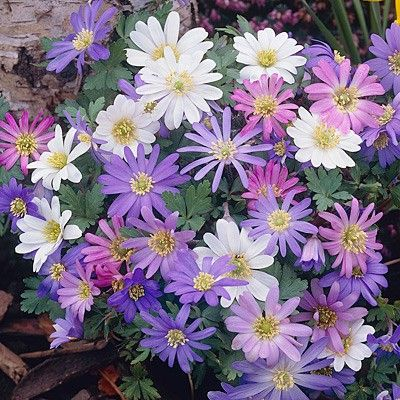 Bloms Unique Anemone Blanda Mixture Bulbs Anemone Bulbs Bloms Unique Anemone Blanda Mixture Buy Anemone Flower Bulbs Online In 2020 Bulb Flowers Anemone Flower Anemone
