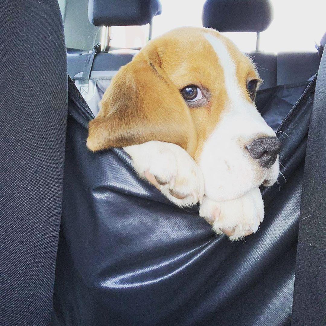 Get Beagle Rspca Beagle Great Dane And Beagle Mix Beagle Aus