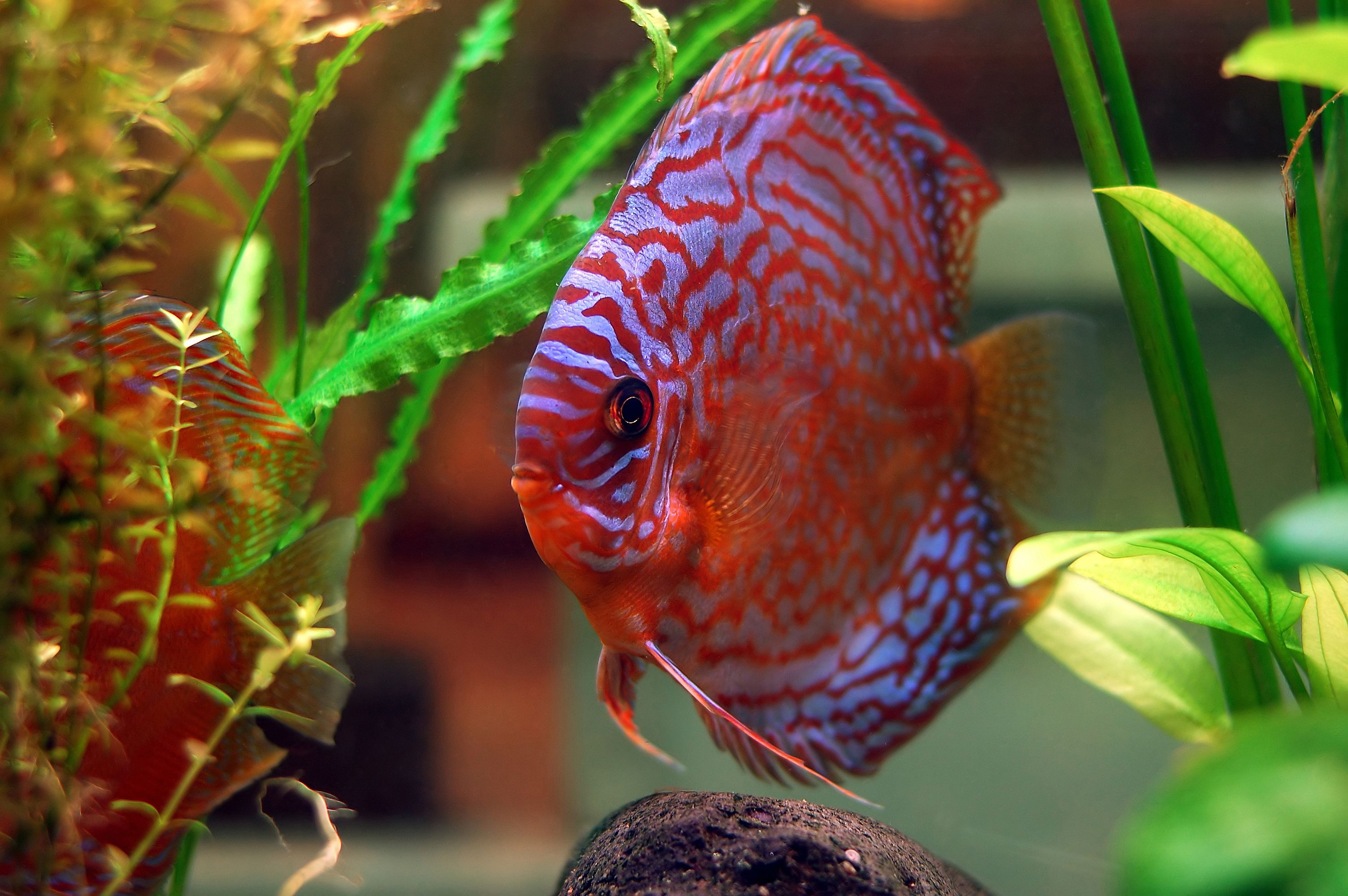 How to Tell if a Discus Fish Is a Male or a Female | Cuteness.com ...