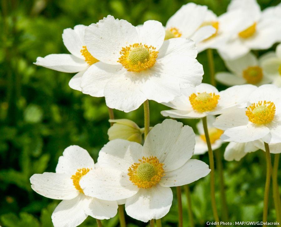 Anémones de printemps : des fleurs pleines de charme ...
