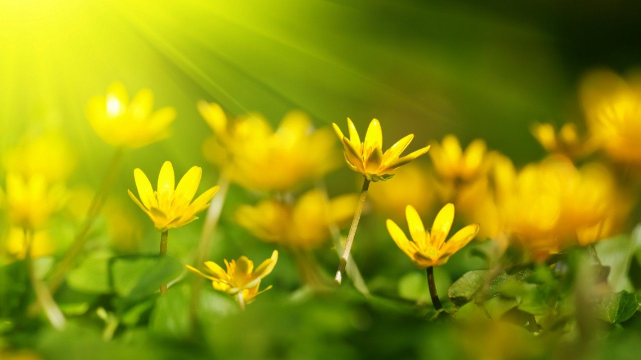 Flowers, 5k, 4k wallpaper, 8k, sunray, yellow, green grass