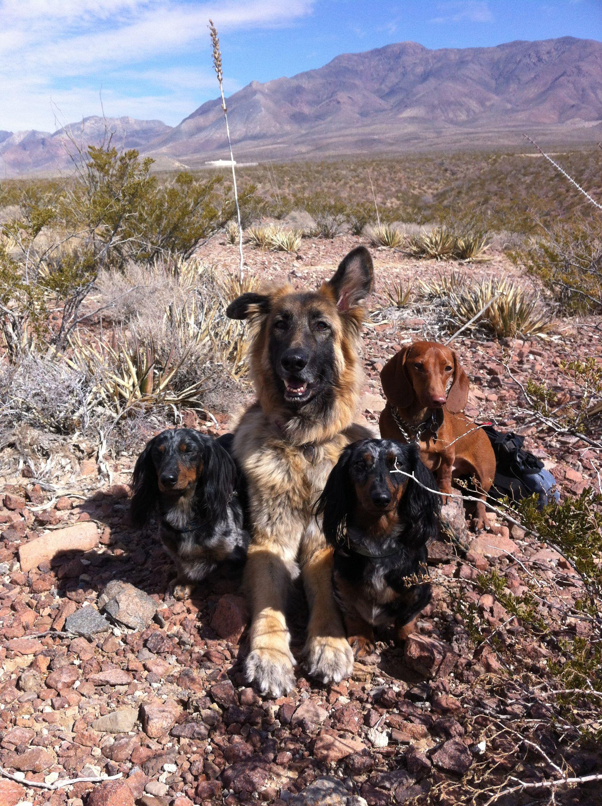 The Pack In El Paso Dachshund Dog Dachshund Animals