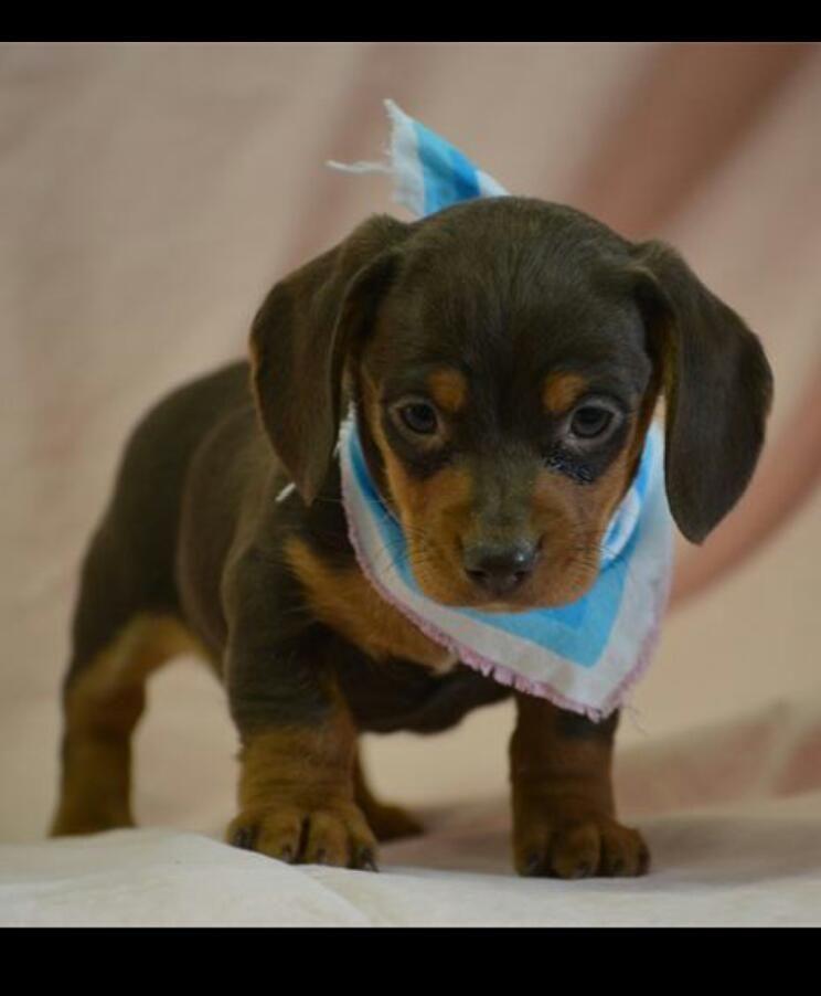 My Miniature Daschund Puppy Super Cute Dogs Daschund Puppies