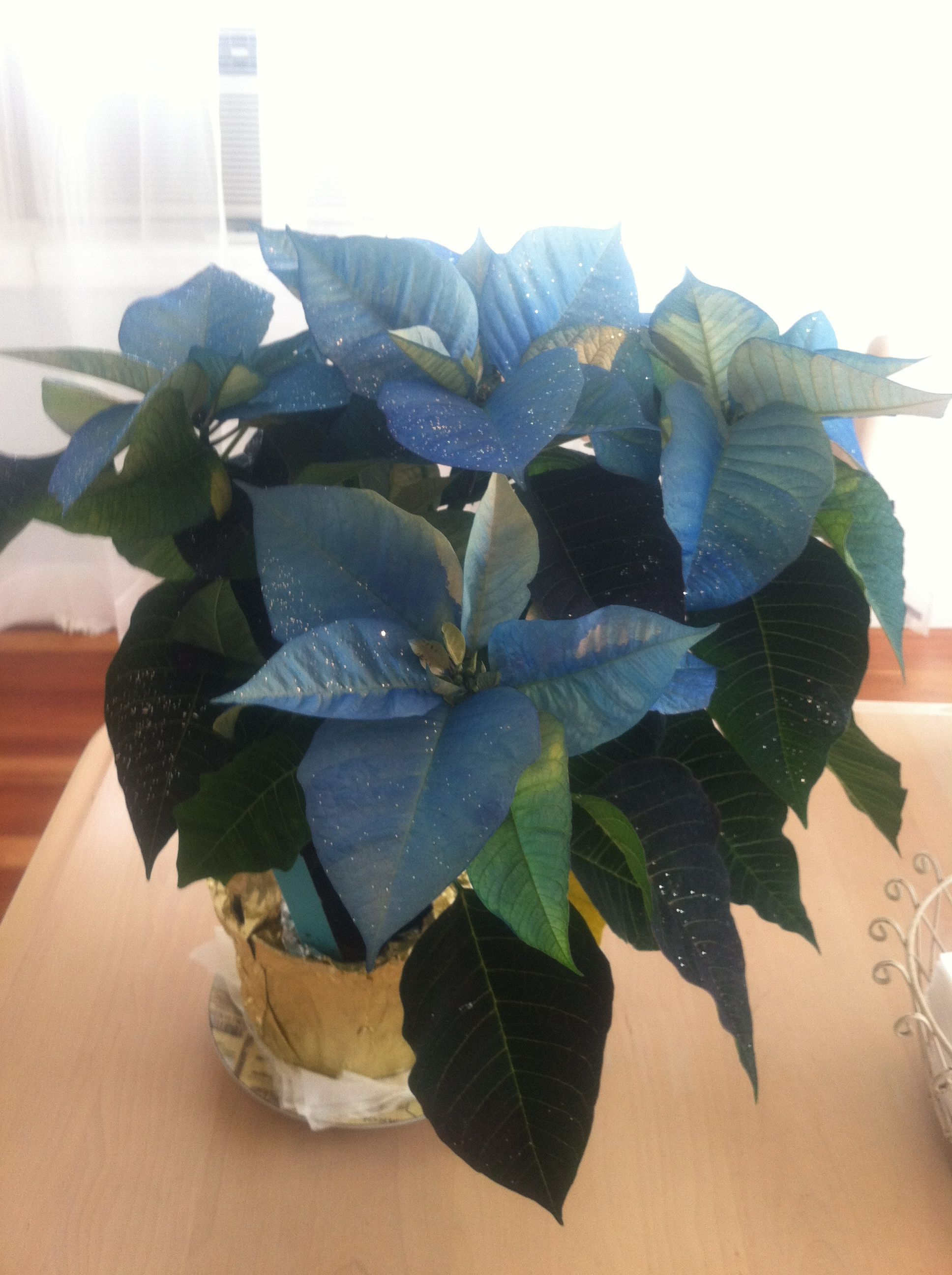 My Blue Poinsettia Yes Its Real My House Pinterest Poinsettia