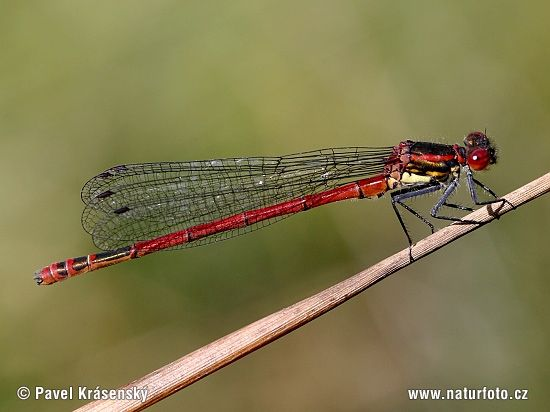 Large Red Damselfly | Large Red Damselfly (Pyrrhosoma nymphula)
