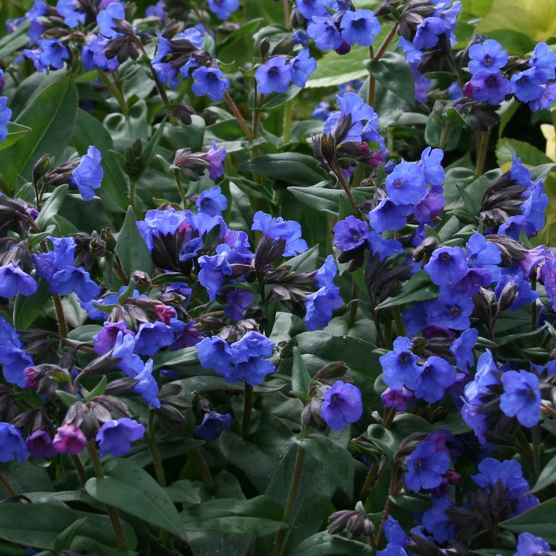 Pulmonaria 'Blue Ensign' | Plants, Perennials, Pink and ...