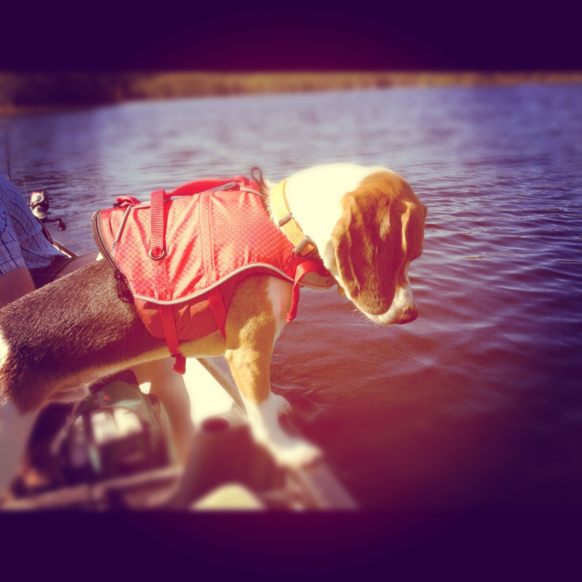 Beagle on a boat