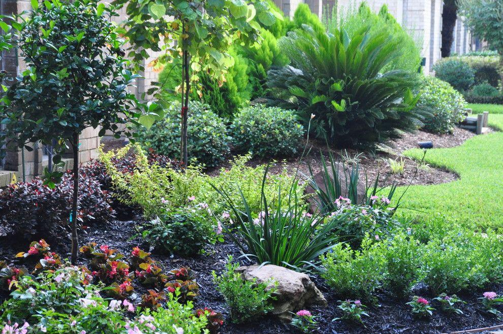 evergreen shrub corner of house