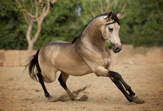 tickled fancy gambler buckskin andalusian stallion elise genest