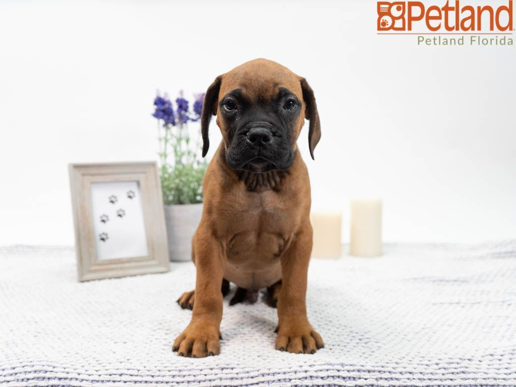 Puppies For Sale Puppy friends, Bullmastiff puppies for