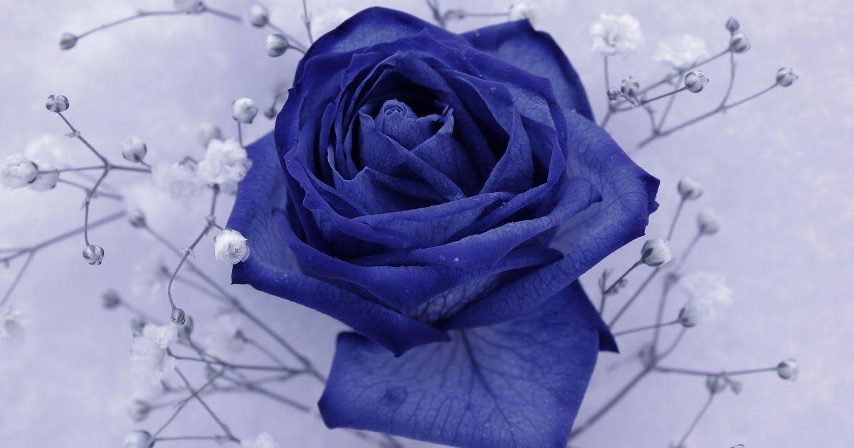 Terkeren 30 Bunga Mawar Biru Di Indonesia Gambar Menanam Daun Bunga Tanaman Berbunga Keluarga Download Banyak Yang Tertipu B Mawar Biru Bunga Gambar Mawar