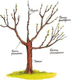 Poda del ciruelo life garden pinterest ciruelo - Poda del cerezo joven ...