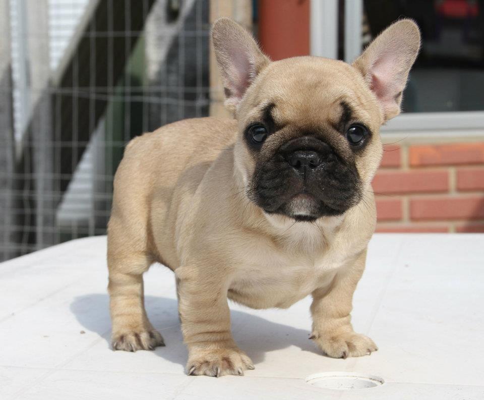 French Bulldog Tan French Bulldog Names Girl Cute Dogs Bulldog