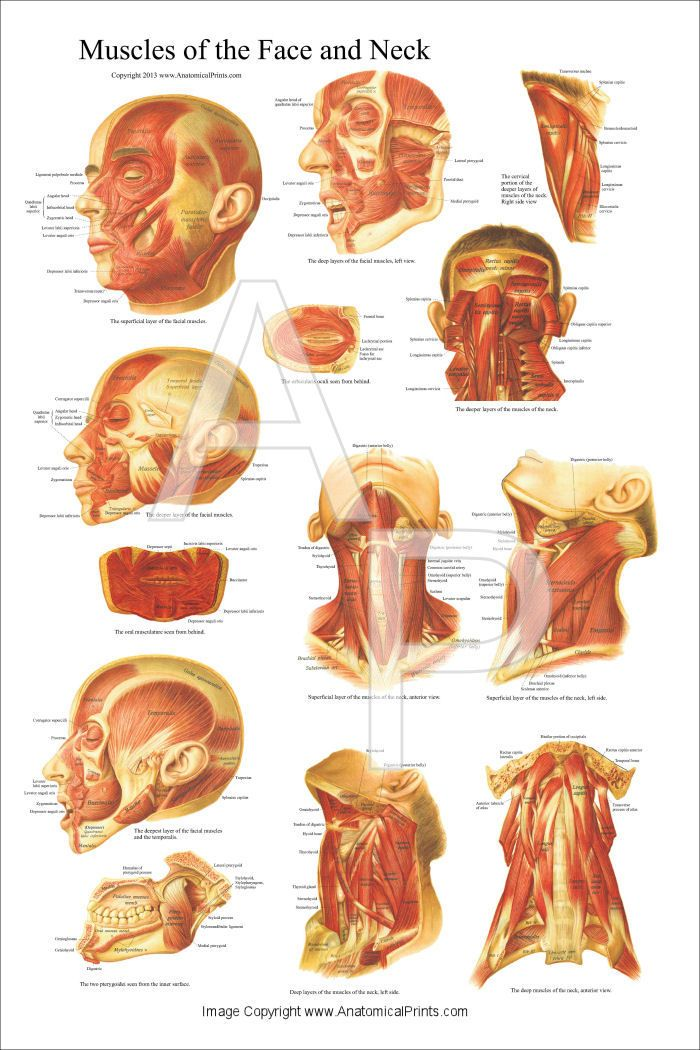 Muscles of the Head, Face and Neck Poster 24\