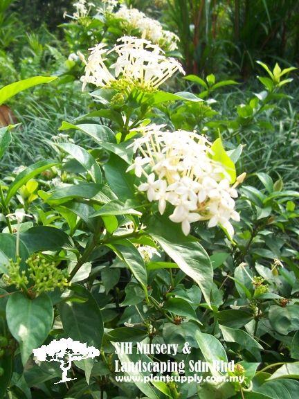 Shrubs Shrubs Wholesale Plant Nursery Wholesale Plants