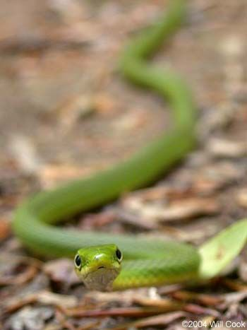 Rough Green Snake The Most Adorable Of All Snakes Pretty