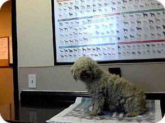 Las Vegas Nv Poodle Miniature Mix Meet Nora A Dog For
