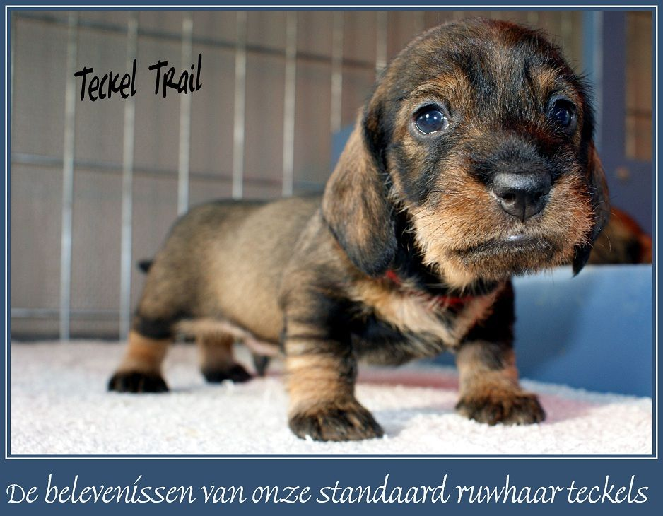 De Pups Van Tess En Ties With Images Wire Haired Dachshund
