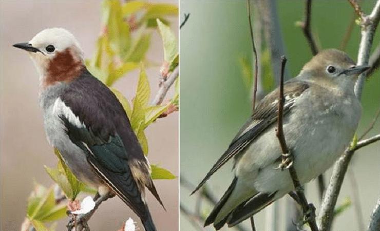 Habitat Dan Ciri Khas Burung Jalak Filipina Yang Bersuara Merdu Jalak Habitat Burung