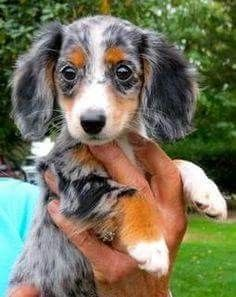 Pin By Regina Lunsford On Animals Puppies Dachshund Lovers