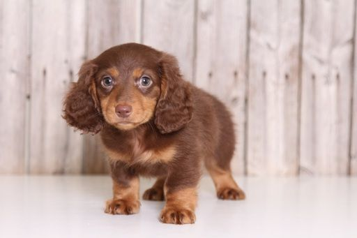 Dachshund Puppy For Sale In Mount Vernon Oh Adn 34947 On