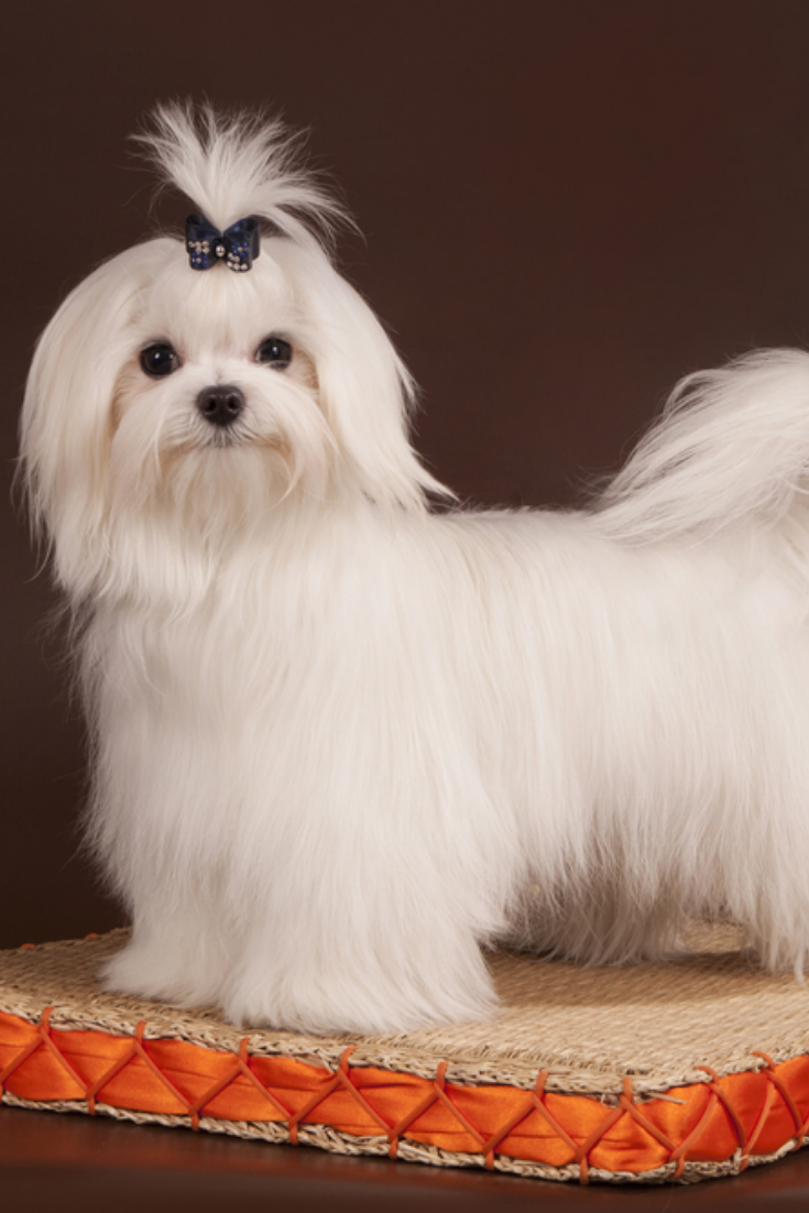 The Little White Dog Of Breed A Maltese Costs On A Wattled Rug With An Orange Border All This On A Brown Background Maltese Maltese Dogs Dogs