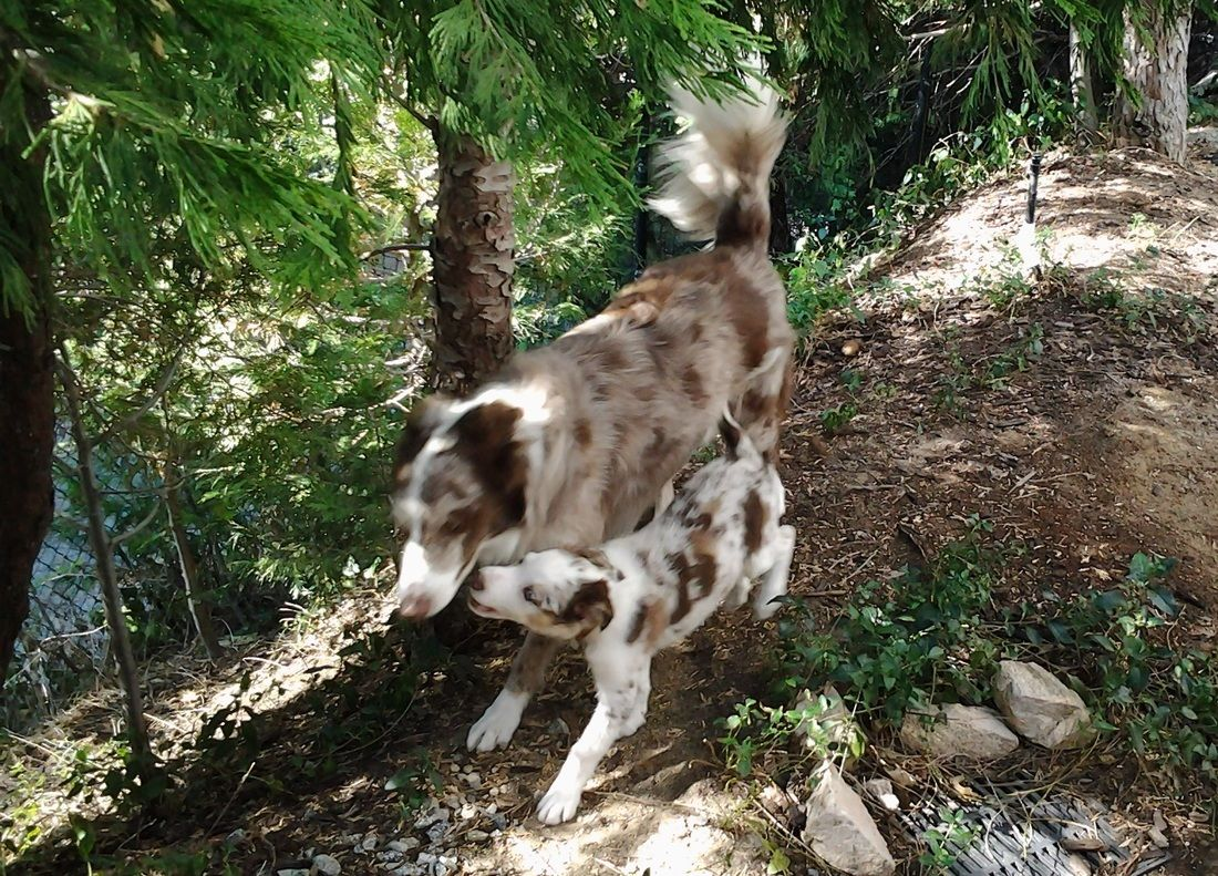 Red Merle Border Collies Hiking In California Dog Trends Border Collie Dog Dog Breeds