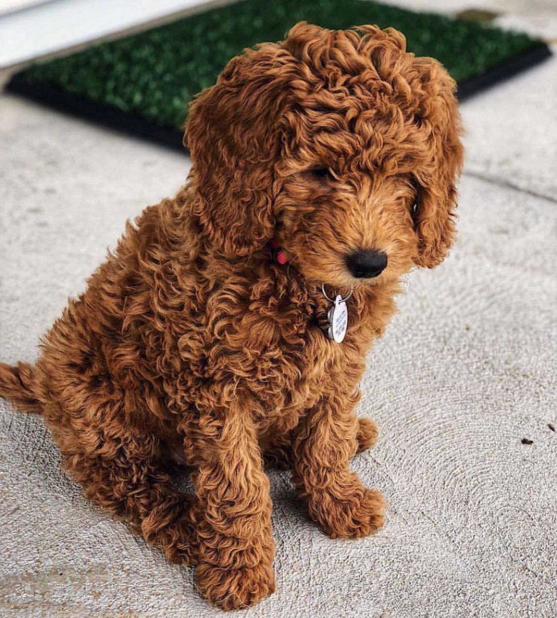 Pin By Anna Wo On Puppy Love Mini Goldendoodle Puppies Goldendoodle Puppy Poodle Puppy