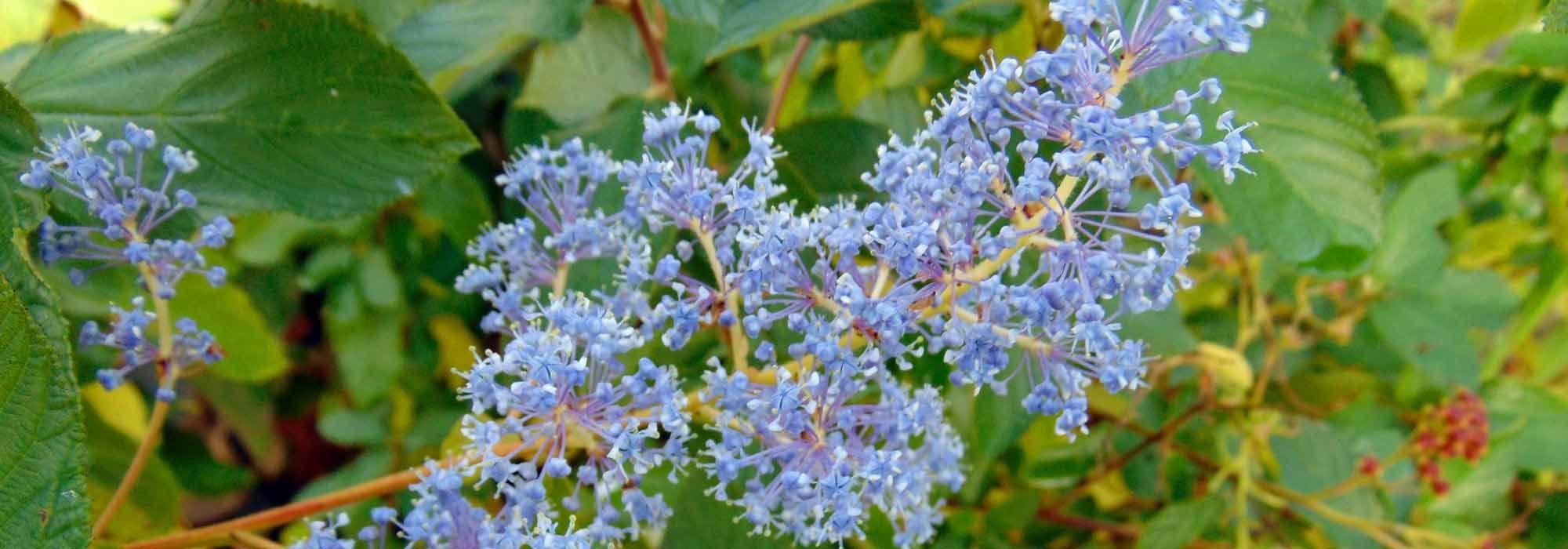 Arbuste Fleuri Feuillage Persistant céanothe, lilas de californie : plantation, entretien