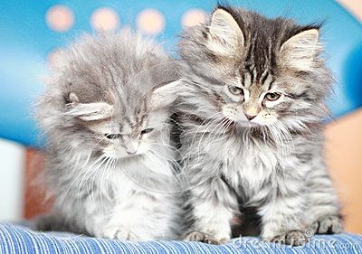 puppies of siberian cat, brown and blue version - on Dreamstime
