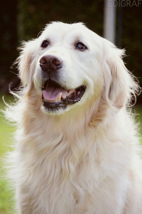 golden retriever - this guy/girl is curly like dickens was