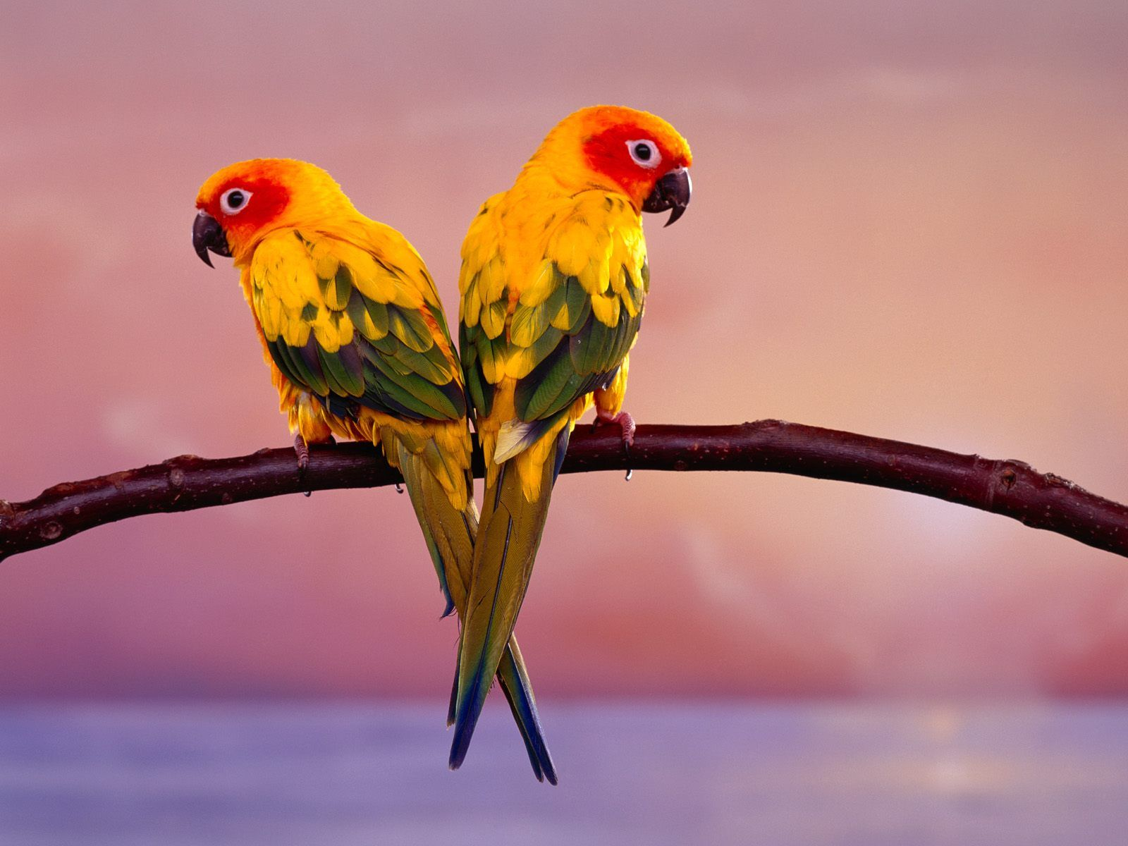 bright colored parrots wallpaper from beautiful birds this is a beautiful wallpaper these two parrots seem to be in perfect pose to have their picture