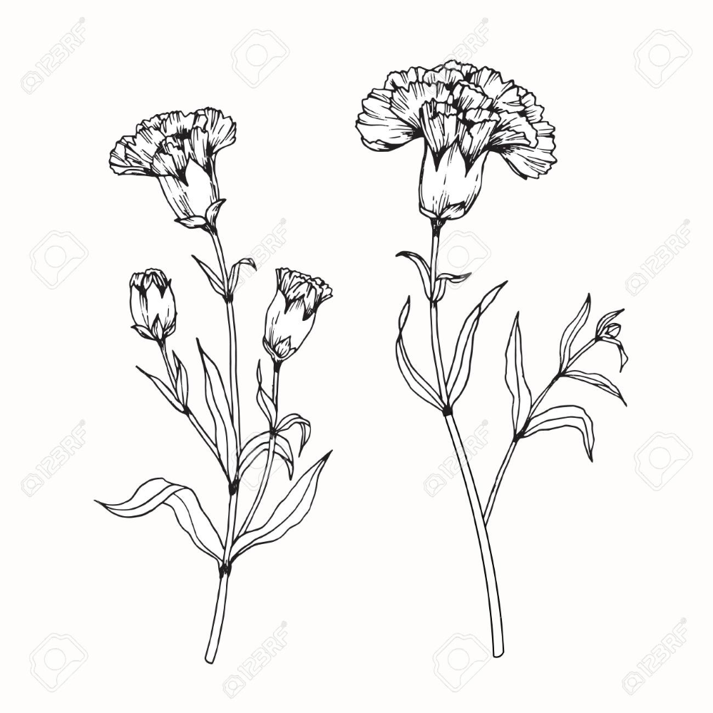 Carnation Flowers Drawing And Sketch With Line Art On White Backgrounds Flower Drawing Carnation Flower Tattoo Flower Line Drawings