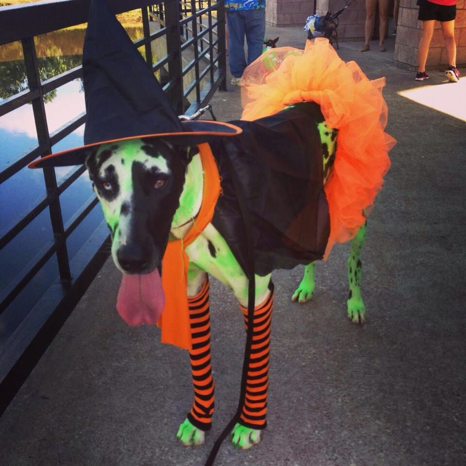 Dog Witch Halloween Costume Harlequin Great Dane Dog Witch