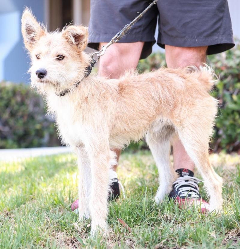 Adopt Roku On Cairn Terrier Mix Irish Terrier Terrier Mix Dogs