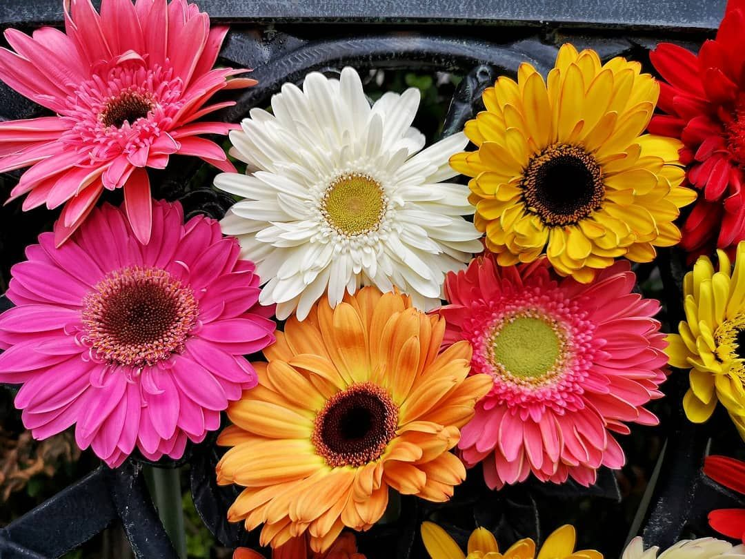 With Those Assorted Colors You Can Create Really Impressive Arrangements Or You Can Just Have Fun Get Th In 2020 Flower Lover Gerbera Daisy Floral Desing