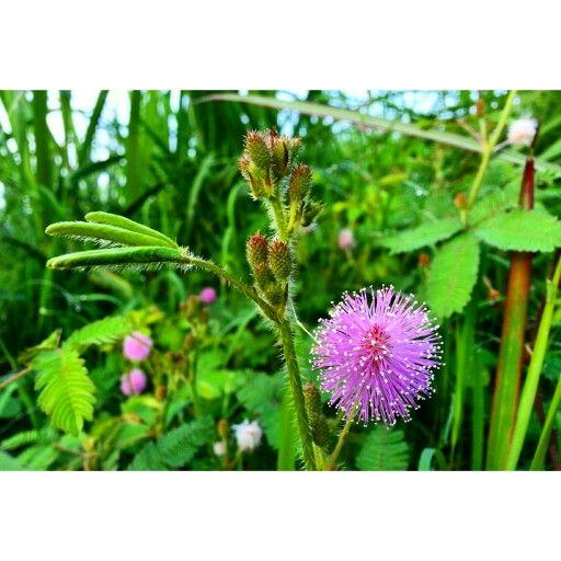 bunga putri malu bunga minyak