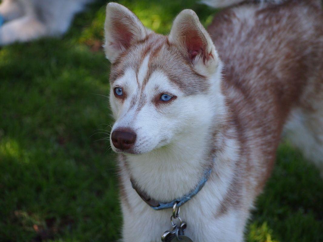 Pictures Alikai Akk Home Of Alaskan Klee Kai Miniature Huskies In San Diego Alaskan Klee Kai Rare Dogs Pets 3