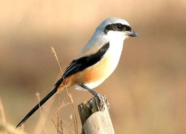 200 Gambar Burung Cendet Paling Keren Gambar Id