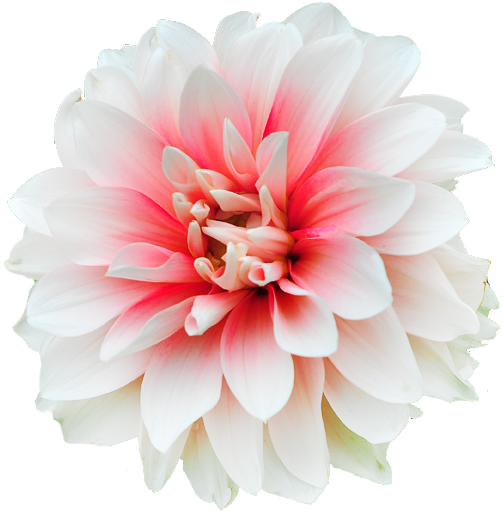 Transparent Flowers Dahlia ﻸ ﻸ ᘡℓvᘠ ღ 彡 We Jun 14 2017 ॐ Beautiful Flowers Dahlia Flower Flowers