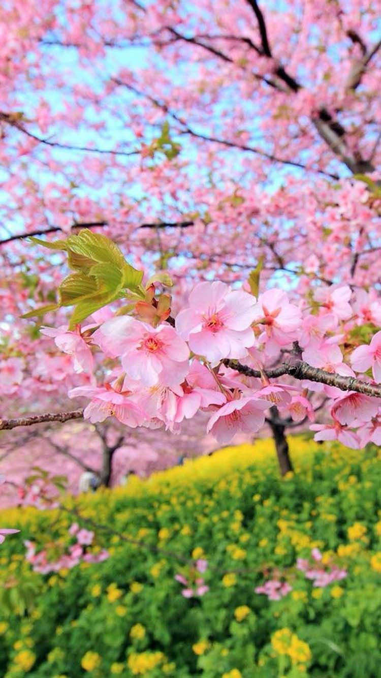 Sakura Park Wallpapers With Images Spring Wallpaper Beautiful