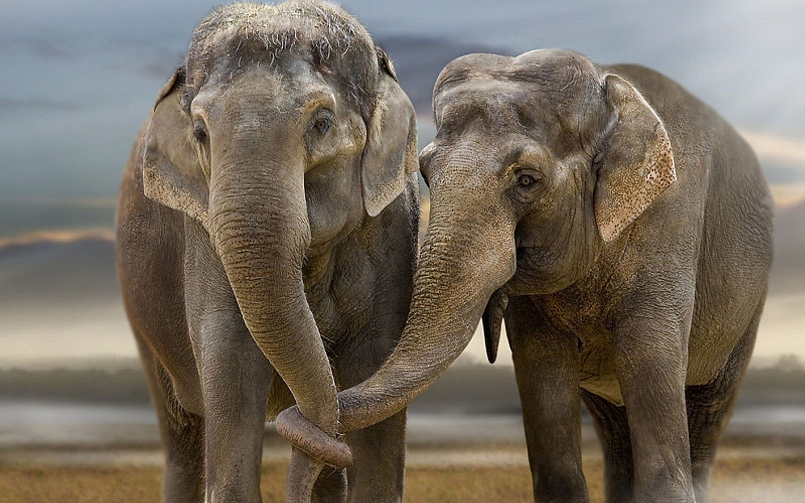 Animal Pictures Elephants Wallpapers Hd Photos Elephant Wallpaper 14