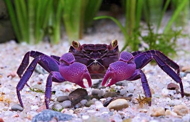 This is a newfound species of vampire crab, Geosesarma dennerle, showing off its purple claws #WowScience