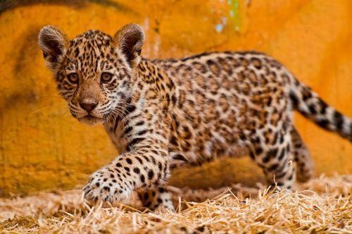 American Jaguar Cubs Venture Out In Europe Jaguar Animal Baby Jaguar Baby Animals